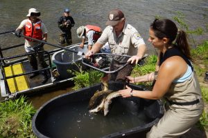 Photo: Biologists unload sicklefin redhorses for tagging. Credit - G. Peeples